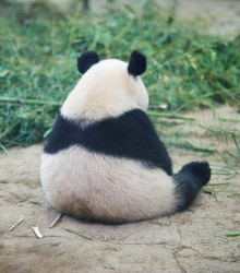 Panda is sad and doesn't want to look at us